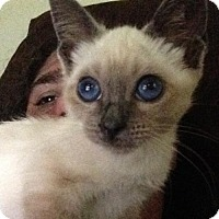 Adopt A Pet :: Dusty Springfield the Magical Blind Kitten - Fresno, CA