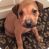 Adopt A Pet :: Estelle - Fort Lauderdale, FL