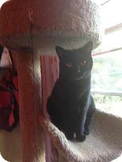Domestic Shorthair Cat for adoption in Baltimore, Maryland - Duncan (COURTESY POST)