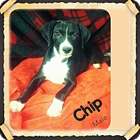 Adopt A Pet :: Chip IN CT - Manchester, CT