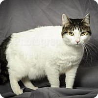 Domestic Shorthair Cat for adoption in Tulsa, Oklahoma - Kaylee