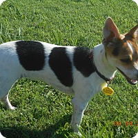 Rat Terrier/Chihuahua Mix Dog for adoption in haslet, Texas - moo moo