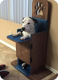 Terrier (Unknown Type, Medium)/Pit Bull Terrier Mix Dog for adoption in Dana Point, California - Brody