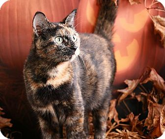 Domestic Shorthair Cat for adoption in Pegram, Tennessee - Giana