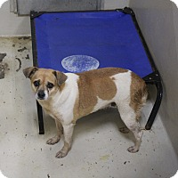 Chihuahua Mix Dog for adoption in Odessa, Texas - A25 LAYLA