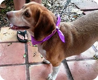 Beagle Dog for adoption in DeLand, Florida - ENZO-Potential Emotional Support Animal