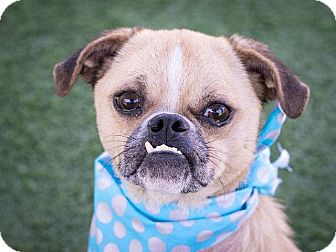 Pug/English Bulldog Mix Dog for adoption in Huntington Beach, California - Dutch