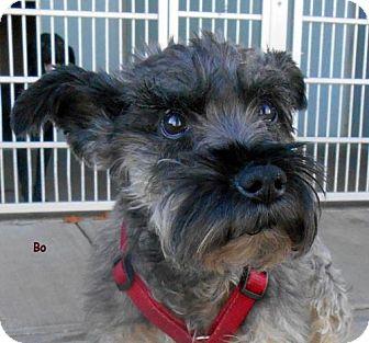 Miniature Schnauzer Mix Dog for adoption in Oskaloosa, Iowa - Bo