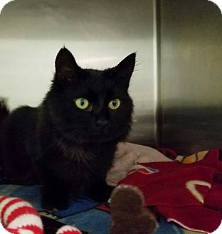 Domestic Mediumhair Cat for adoption in Elyria, Ohio - Lukie