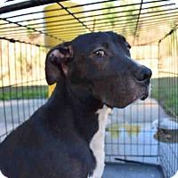 Adopt A Pet :: Dominic - Newnan City, GA
