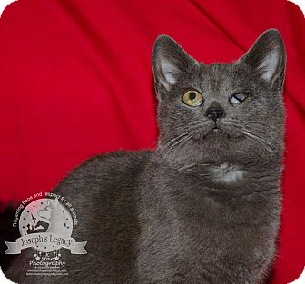 Domestic Shorthair Cat for adoption in Middletown, Ohio - Miley