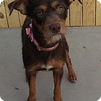 Adopt A Pet :: Coco Chanel - Apache Junction, AZ