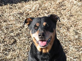 Rottweiler Mix Dog for adoption in Laurel, Montana - Neon