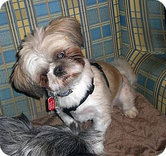 Shih Tzu Mix Dog for adoption in Toronto, Ontario - Teddy