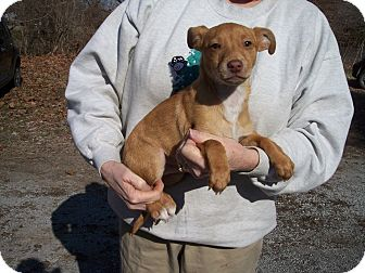 Chihuahua/Rat Terrier Mix Puppy for adoption in Germantown, Maryland - Arlo