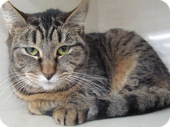 Domestic Shorthair Cat for adoption in Riverhead, New York - Alibi