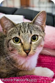 Domestic Shorthair Cat for adoption in Long Beach, California - Emmy