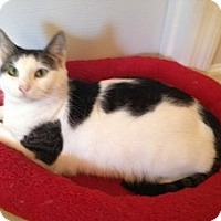 Domestic Shorthair Cat for adoption in Jacksonville, North Carolina - Ella