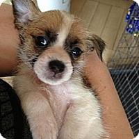 Adopt A Pet :: Pixie - pasadena, CA