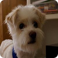 Adopt A Pet :: Gidget - Phoenix, AZ