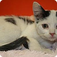 Adopt A Pet :: FELICIA - SILVER SPRING, MD