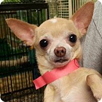 Adopt A Pet :: Chica - Orlando, FL