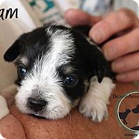 Adopt A Pet :: LIAM - Hurricane, UT