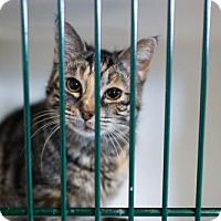 Adopt A Pet :: Saber - Caistor Centre, ON