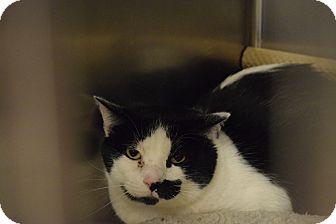 Domestic Shorthair Cat for adoption in Washington, Pennsylvania - Ranson