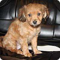 Adopt A Pet :: Samson - Henderson, NV
