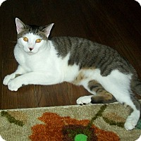 Domestic Shorthair Cat for adoption in Cleveland, Ohio - Rocko