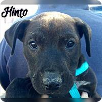 Adopt A Pet :: HD12 pup Hinto - Tucson, AZ