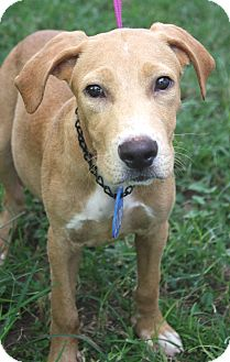 Labrador Retriever Mix Dog for adoption in Beaumont, Texas - Goonie
