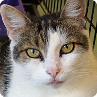 Domestic Shorthair Cat for adoption in Sprakers, New York - Paco