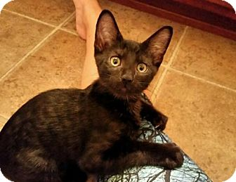 Domestic Shorthair Cat for adoption in Columbia, South Carolina - Rook