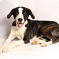 Adopt A Pet :: Daisy Labshep - St. Louis, MO