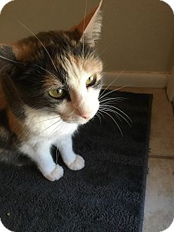 "Abyssinian Cat for adoption in Phoenix, Arizona - Kipper - 7 ""K"" Kitty"