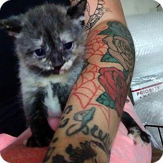 Domestic Shorthair Kitten for adoption in Woodbury, New Jersey - Jem