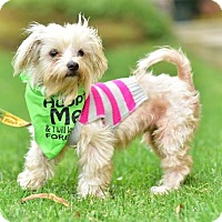 Maltese Dog for adoption in Marina Del Ray, California - NOODLE