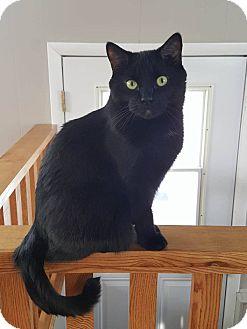 Domestic Shorthair Cat for adoption in Saranac Lake, New York - Puma *Courtesy Posting*