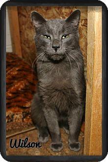 Domestic Shorthair Cat for adoption in Shippenville, Pennsylvania - Wilson