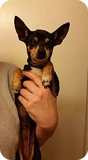 Chihuahua Mix Dog for adoption in Hamilton, Ontario - Huxlee