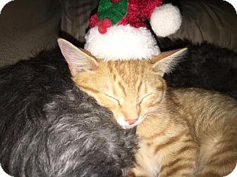 Domestic Shorthair Kitten for adoption in Morgantown, West Virginia - Boyd