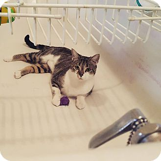 Domestic Shorthair Cat for adoption in Queensbury, New York - Annie
