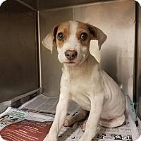 Adopt A Pet :: Joy - Manhasset, NY