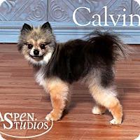 Adopt A Pet :: Calvin - Valparaiso, IN