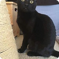 Domestic Shorthair Cat for adoption in New Milford, Connecticut - Tony