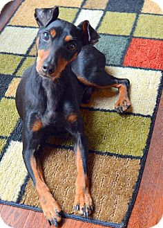 Miniature Pinscher Dog for adoption in Nashville, Tennessee - Trooper