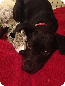 Labrador Retriever Mix Puppy for adoption in St Petersburg, Florida - !Beautiful! Lab Puppies!