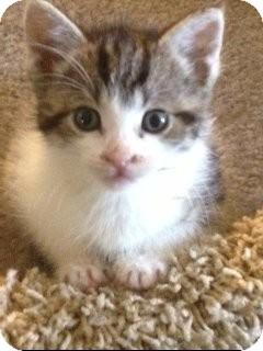 Domestic Shorthair Kitten for adoption in Island Park, New York - Miffy